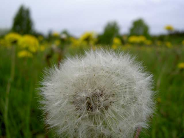 Dandelion. Photo: Henrik Hemrin.